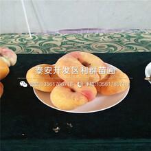 仲秋黄脆桃树苗出售基地、仲秋黄脆桃树苗价格及报价图片