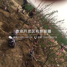玉红巨雪桃树苗品种、玉红巨雪桃树苗基地及报价图片