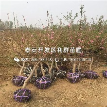 仲秋黄脆桃树苗报价、仲秋黄脆桃树苗价格及报价图片