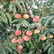 中熟蟠桃树苗出售、中熟蟠桃树苗价格及报价图片