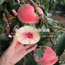 中油8號桃樹苗品種圖片