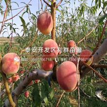 黃金蜜一號桃樹苗品種、黃金蜜一號桃樹苗基地及報價圖片