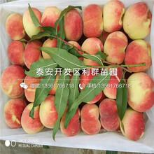 中桃10号桃树苗出售价格图片