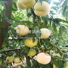 黄桃树苗报价、黄桃树苗价格及报价图片