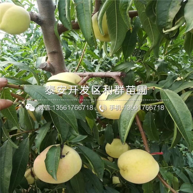 批发黄肉油桃树苗、黄肉油桃树苗价格