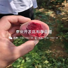 夏红桃树苗批发价格图片
