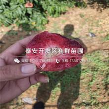 出售夏甜桃树苗、夏甜桃树苗价格图片