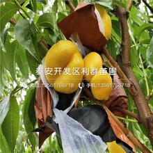 黄冠桃树苗批发、黄冠桃树苗价格图片
