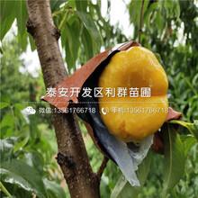 瑯琊绯蜜冬蜜桃树苗价钱图片