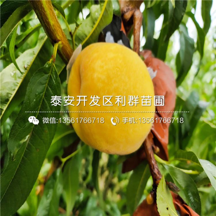 水蜜桃桃树苗基地