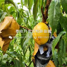 黄桃树苗品种、黄桃树苗基地及报价图片