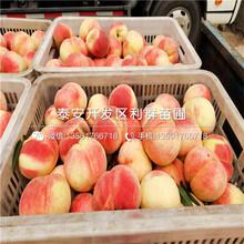 中熟油桃树苗、中熟油桃树苗品种图片