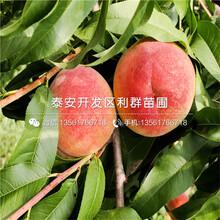 锦绣黄桃苗价钱图片