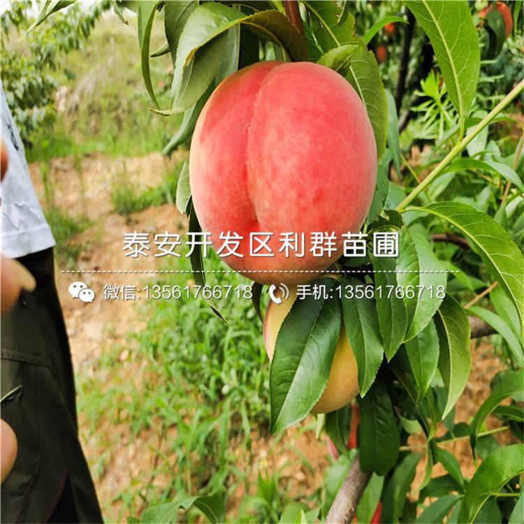 国庆脆红桃树苗品种介绍、2020年国庆脆红桃树苗价格