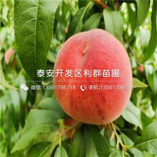 晚熟水蜜桃苗价格、晚熟水蜜桃苗报价图片