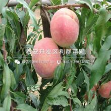 黄金脆桃树苗报价、黄金脆桃树苗价格及报价图片