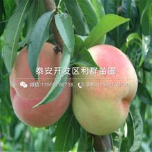 中华巨蟠桃树苗基地图片