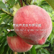 巨蟠桃树苗报价图片