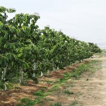 黑珍珠樱桃树苗价格、黑珍珠樱桃树苗基地及报价图片
