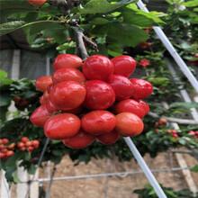矮化大樱桃树苗、矮化大樱桃树苗价格图片