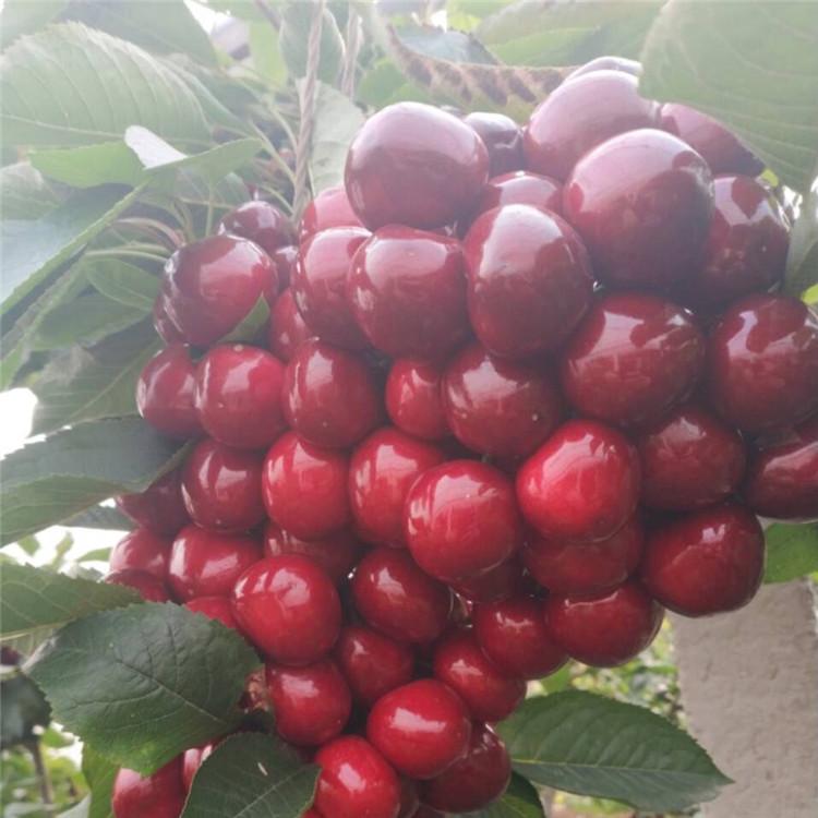 红艳樱桃树苗