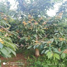 斯坦勒樱桃树苗批发基地、斯坦勒樱桃树苗价格及报价图片