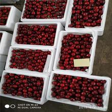 车厘子樱桃树苗、车厘子樱桃树苗报价及价格图片