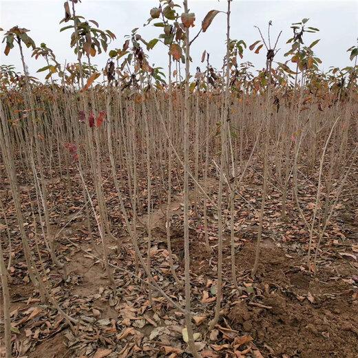 黑兰特樱桃树苗报价、黑兰特樱桃树苗价格