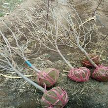红艳樱桃树苗、红艳樱桃树苗报价及价格图片
