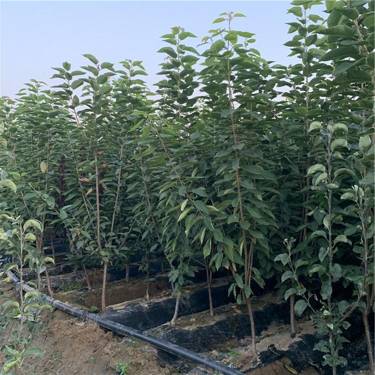 早红宝石樱桃树苗、早红宝石樱桃树苗出售基地