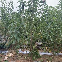 吉塞拉樱桃树苗、吉塞拉樱桃树苗批发价格图片