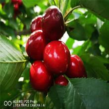 出售早红珠樱桃苗、出售早红珠樱桃苗基地图片
