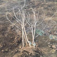 4公分樱桃树苗、4公分樱桃树苗报价及基地图片