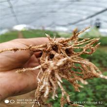 朱砂红樱桃树苗、朱砂红樱桃树苗品种图片