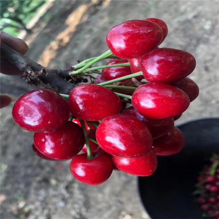 吉塞拉樱桃树苗、吉塞拉樱桃树苗批发基地
