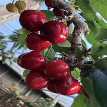 乌皮樱桃树苗、乌皮樱桃树苗价格图片