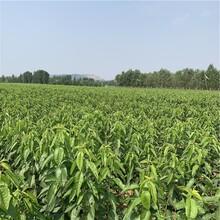 新品种乌克兰樱桃树苗价格、新品种乌克兰樱桃树苗基地图片