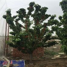 矮化矮化吉塞拉樱桃苗基地、矮化矮化吉塞拉樱桃苗价格及报价图片