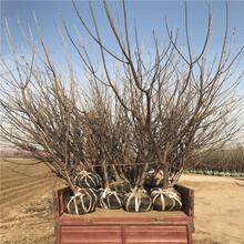 矮化矮化大樱桃苗基地、矮化矮化大樱桃苗价格及报价图片