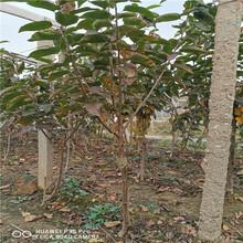 黑兰特樱桃苗出售基地、黑兰特樱桃苗批发价格图片