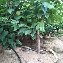 出售白玉樱桃树苗、出售白玉樱桃树苗价格及报价图片