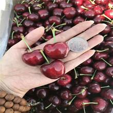 意大利早红樱桃树苗批发价格、意大利早红樱桃树苗基地及报价图片