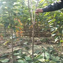 美国大红樱桃苗出售基地、美国大红樱桃苗批发价格图片