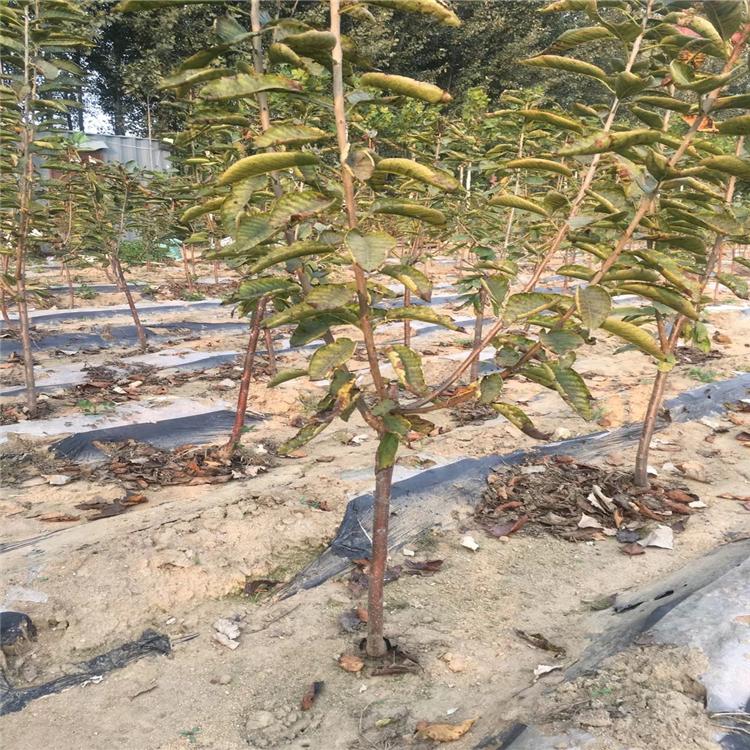 2公分樱桃树苗出售、2公分樱桃树苗价格及报价