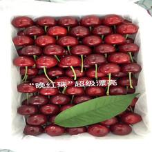 批发乌克兰樱桃苗、批发乌克兰樱桃苗价格及报价图片