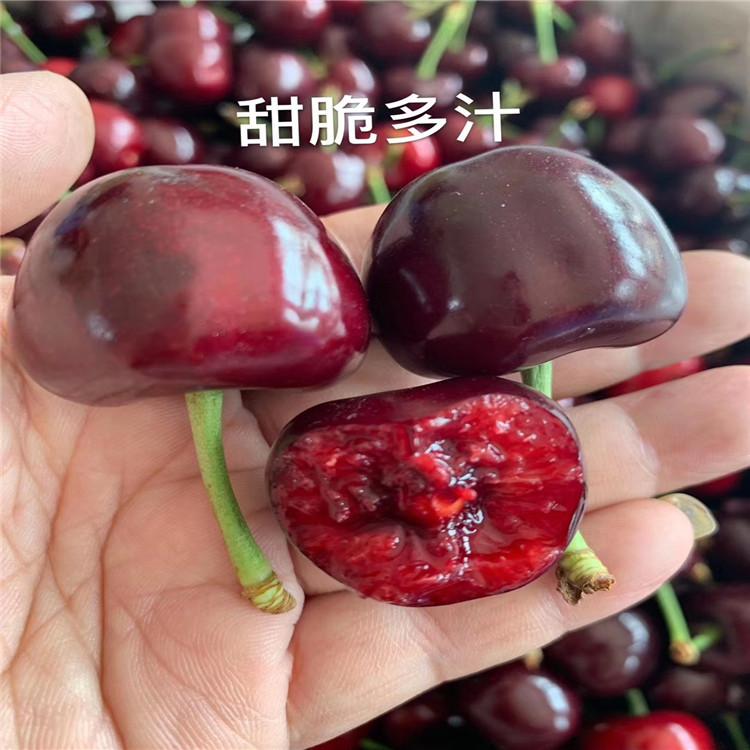 美国大红樱桃苗、美国大红樱桃苗批发价格