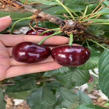 美国大红樱桃树苗、美国大红樱桃树苗出售基地图片