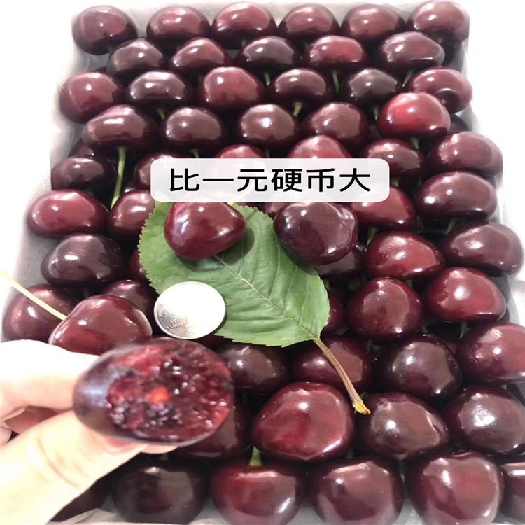 矮化大樱桃苗、矮化大樱桃苗价位