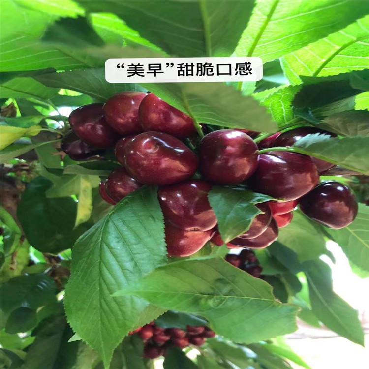 矮化櫻桃樹苗、矮化櫻桃樹苗出售價格