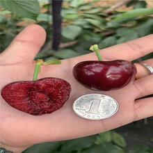 出售美国1号大樱桃树苗、出售美国1号大樱桃树苗价格图片